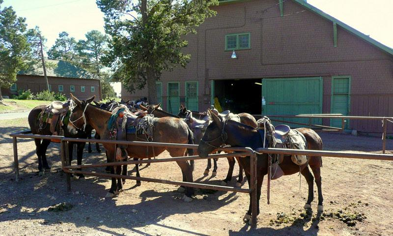 Mules ready for a Ride in the Grand Canyon