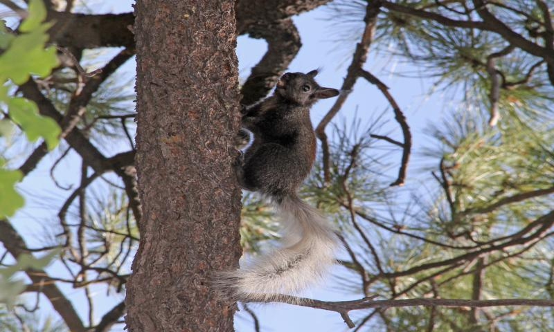 Kaibab Squirrel on the North Rim