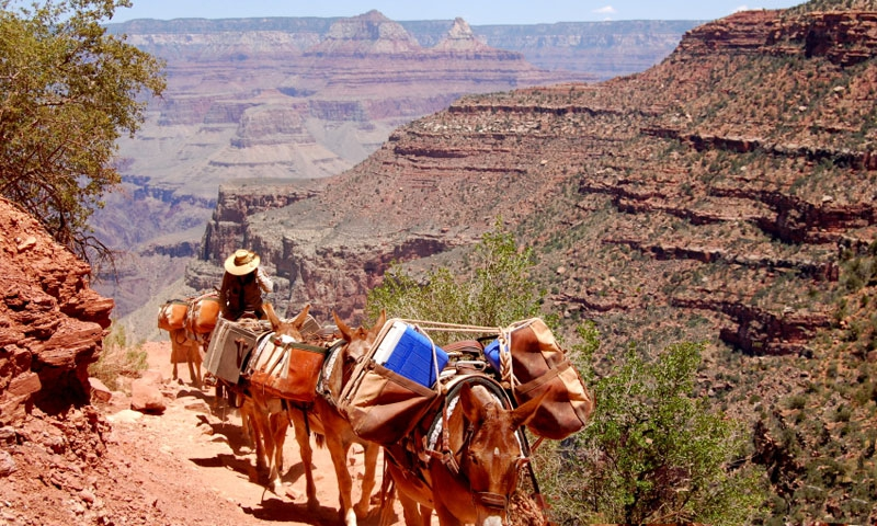 A Mule Trip coming out the the Grand Canyon along Bright Angel Trail